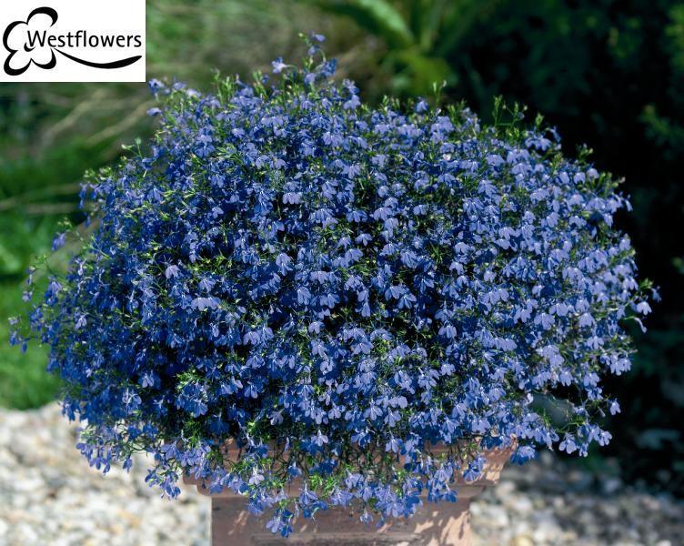 Kwiaty Balkonowe Zwisajace 5 Najpopularniejszych Gatunkow Ogrod I Balkon Polki Pl